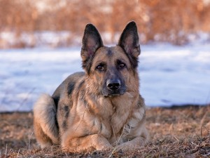 Postal: Bello perro pastor alemán