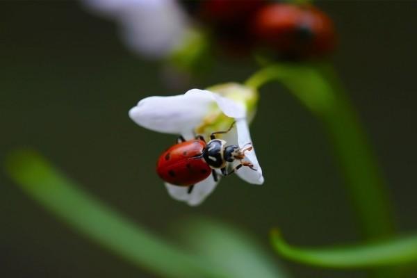 Mariquita en una flor blanca