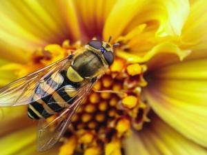 Abeja en una flor amarilla