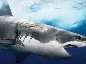 Perfil de un tiburón con la boca abierta