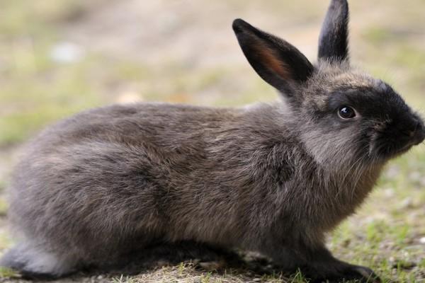 Un conejo gris
