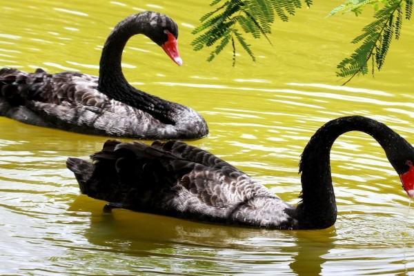 Cisnes negros en el agua