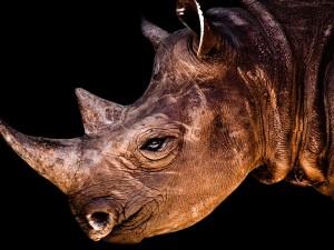 Postal: Cara de un rinoceronte
