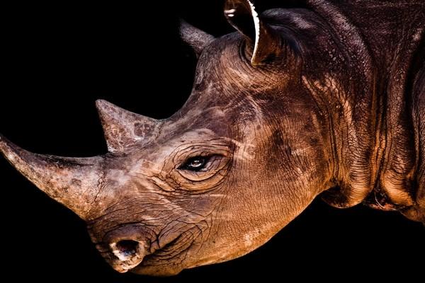 Cara de un rinoceronte
