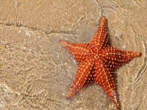 Postal: Estrella de mar naranja en la orilla de una playa