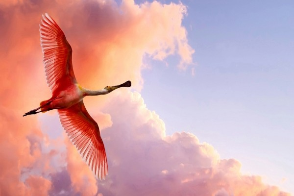 Hermosa espátula rosada volando