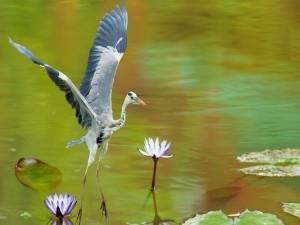 Garza aterrizando en el agua