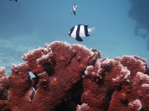 Peces rayados nadando sobre corales rojos