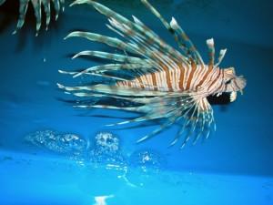 Postal: Pez león en un acuario
