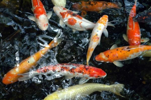 Coloridas carpas koi en un estanque