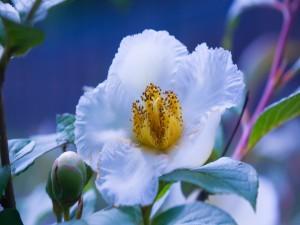 Bella flor blanca con estambres amarillos