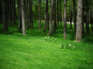 Narcisos creciendo en el interior de un bosque