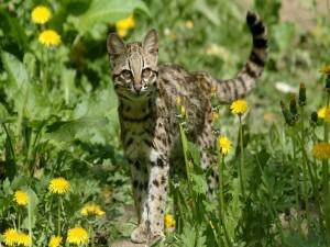 Ocelote caminando entre las flores