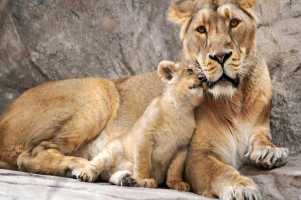 Cachorro de león junto a su madre
