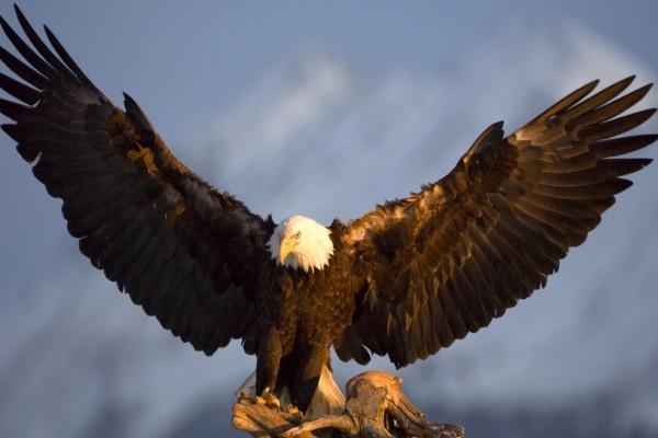 Águila calva preparada para emprender el vuelo