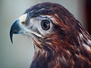 La cabeza de un halcón