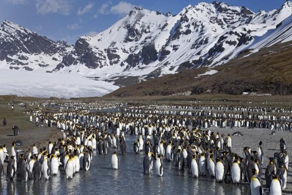 Colonia de pingüinos rey
