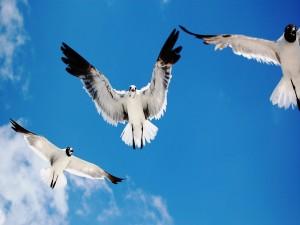 Aves blancas y negras en el cielo