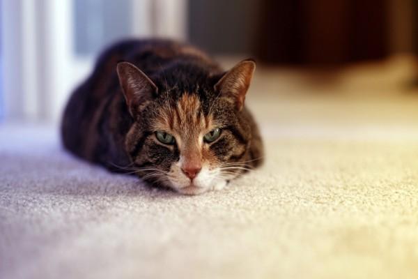 Gato tumbado en la moqueta