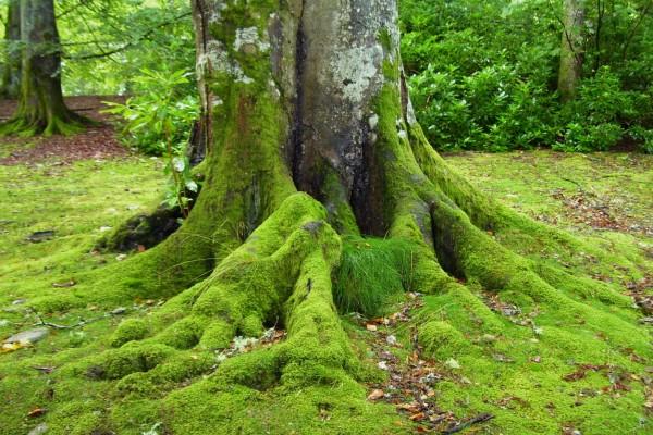 Musgo en el tronco de un gran árbol
