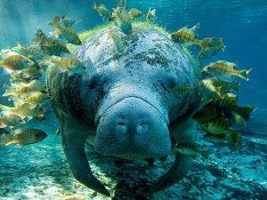 Manatí rodeado de peces