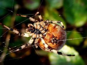 Araña con su saco de huevos sobre la tela
