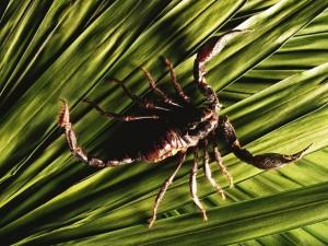 Escorpión sobre unas hojas
