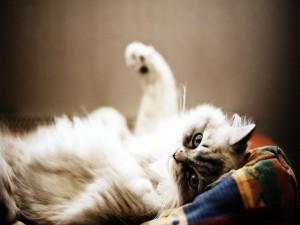 Un gato tumbado en su cama