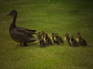Mamá pato y sus patitos caminando sobre la hierba