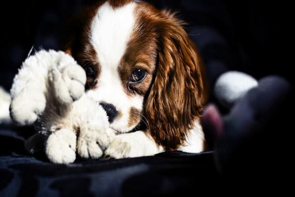 Un lindo perrito jugando con un muñeco
