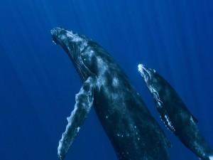 Ballena junto a su cría nadando en el mar