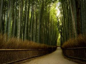 Paseo por un bosque de bambú