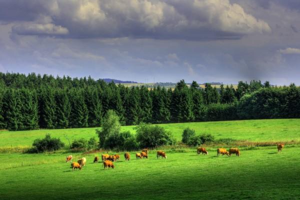 Vacas en un gran prado verde