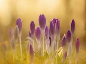Bellas flores primaverales color púrpura