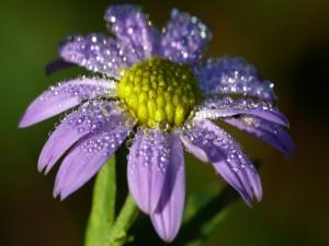 Gotas de rocío sobre una flor color púrpura