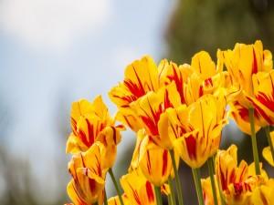 Tulipanes amarillos con rayas rojas