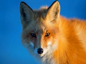 La cara de un zorro rojo