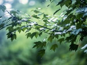 Gotas de lluvia sobre las hojas verdes de un Árbol
