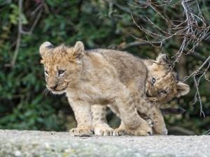 Dos cachorros de león divirtiéndose