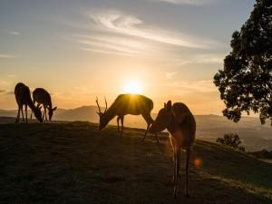 Ciervos comiendo hierba al amanecer