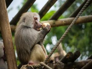 Mono babuino comiendo fruta
