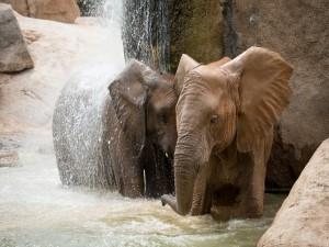 Elefantes bajo una cascada