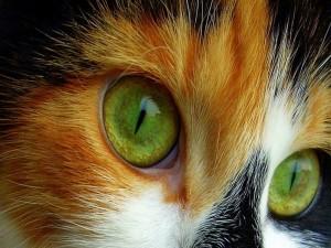 Los bellos ojos verdes de un gato