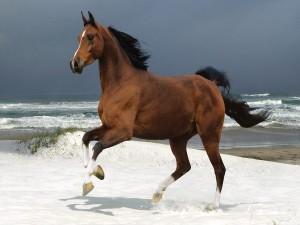 Semental trotando libremente en una playa