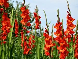 Bellos gladiolos en un jardín