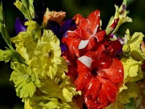 Gladiolos de varios colores