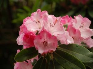 Maravillosas azaleas de color rosa