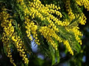 Mimosas decorando las ramas