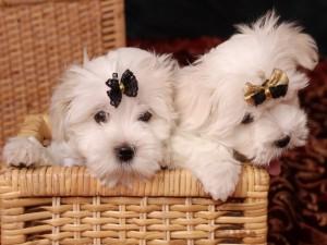 Cachorros con un lazo en el pelo