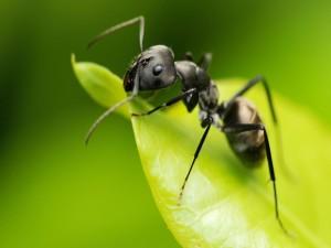 Gran hormiga sobre una hoja